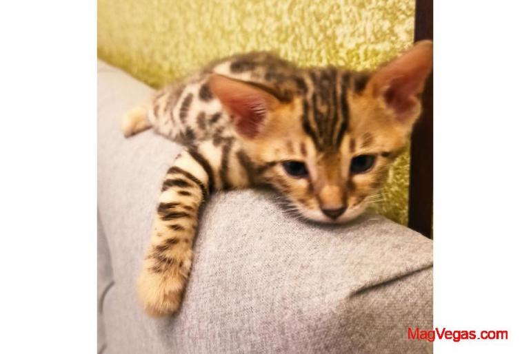 Чистокровные бенгальские котята!